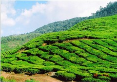 agriculture, shrub, field, soil, valley, hill, hill station, highland, green, terrace, landscape, vegetation, rural area, plantation,