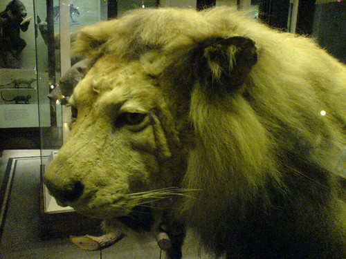 the ACTUAL lion from the film 'THE LION KING'