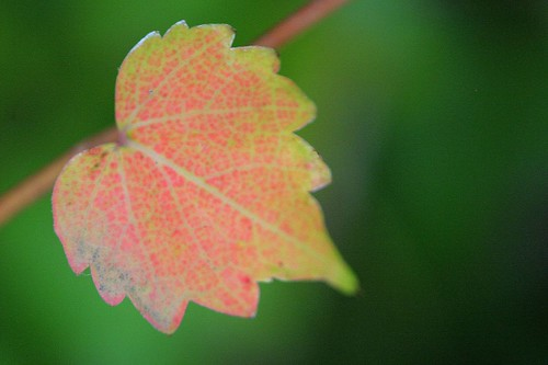 Autumn Leaf & Vine