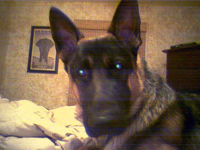 Scary Blue Eyes German Shepherd Dog | Flickr - Photo Sharing!