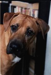 animal sports(0.0), street dog(0.0), rhodesian ridgeback(0.0), dog breed(1.0), animal(1.0), broholmer(1.0), dog(1.0), pet(1.0), mammal(1.0), black mouth cur(1.0),