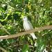 Seychelles 2005 - Cousin island (birds)