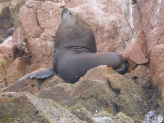 Fat Sea Lion 31
