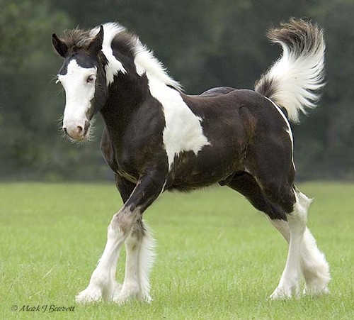 Beautiful Horses - Gypsy's - a gallery on Flickr