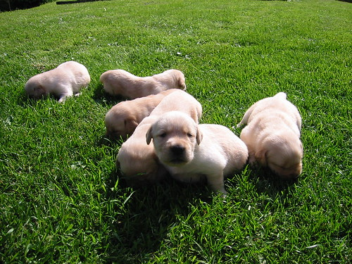 Golden/Labrador Retriever cross puppies