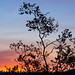 Creosote Sunset Silhouette by craiglkirk