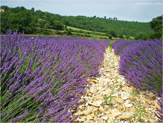 Lavender, Lurs.