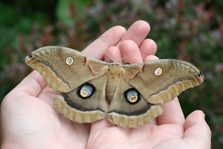 Polyphemous Moth ... from our Sun Room!