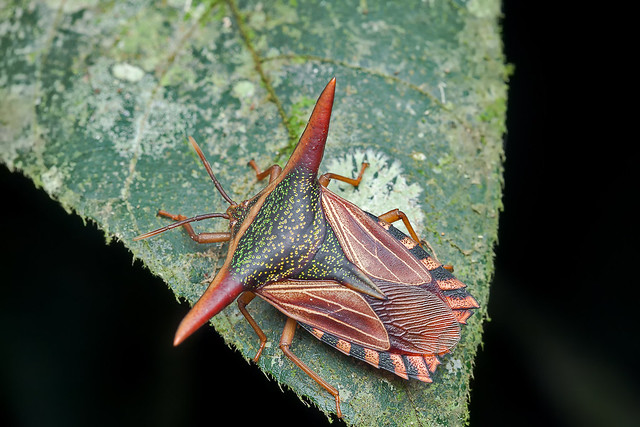 Giant shield bug (Tessaratomidae)