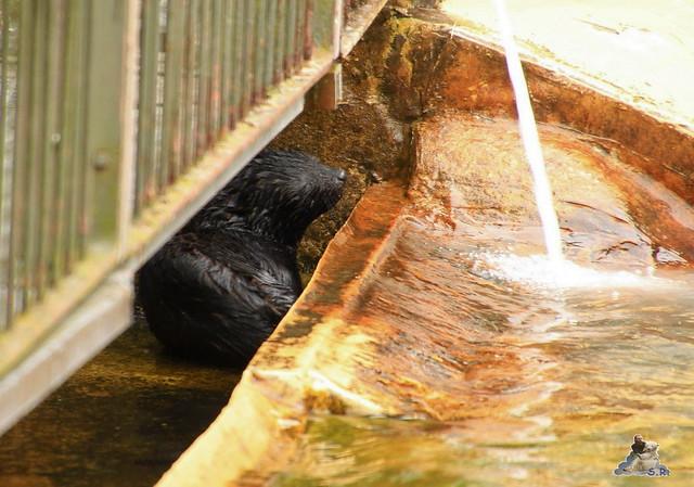 Eisbär Fiete im Zoo Rostock 12.07.2015 0105