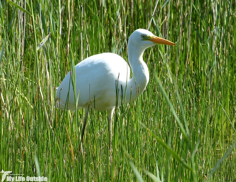 P1130884 - Great White Egret, Kenfig NNR