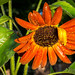 Orange headed sunflower