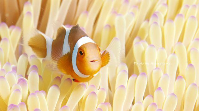 カクレクマノミ幼魚