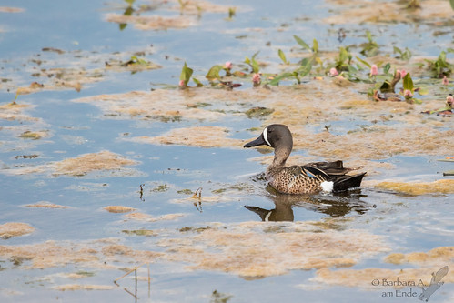 male us duck colorado unitedstates july walden northpark 2015 breedingplumage bluewingedteal arapahonwr