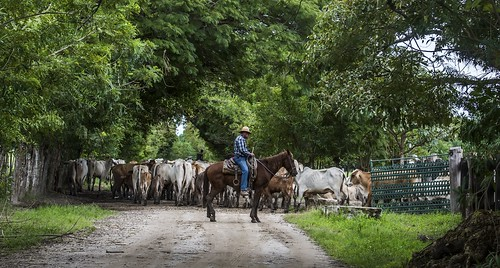 provinciadecoclã© panama provinciadecoclé cowboys cattle road