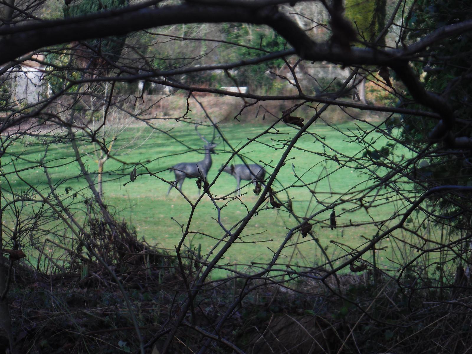 Fake Deer in Garden across River Enborne SWC Walk 34 Newbury Racecourse to Woolhampton (Midgham Station)