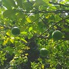 FREE VALENCIA ORANGES! (come January). #florida #citrustree #oranges #vitaminc #homegrown
