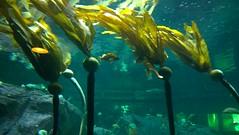 algae, seaweed, marine biology, underwater, reef, kelp, aquarium,