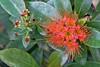 Metrosideros  (Scarlet rātā, rātā vine) is a forest liane or vine endemic to New Zealand.