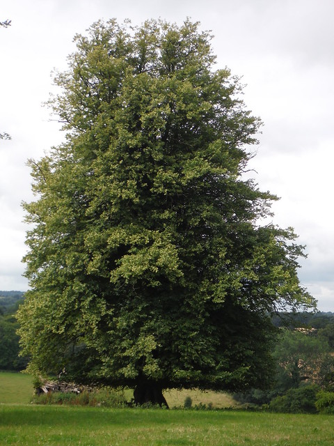 Lime Tree, Wardour Park