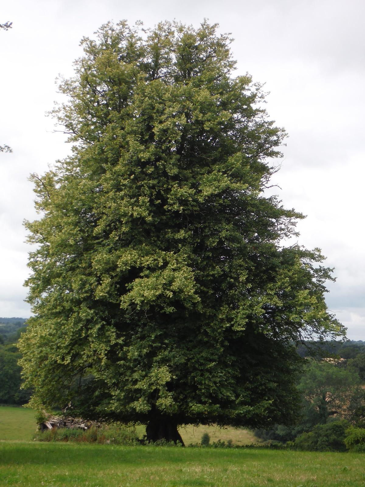 Lime Tree, Wardour Park SWC Walk 252 Tisbury Circular via Donhead St. Andrew