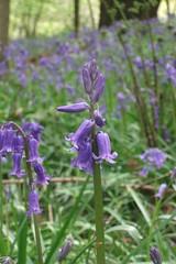 flower, purple, lavender, herb, wildflower, flora,