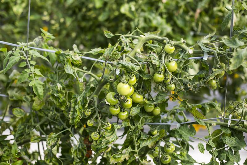Tomato plucking in Chiba
