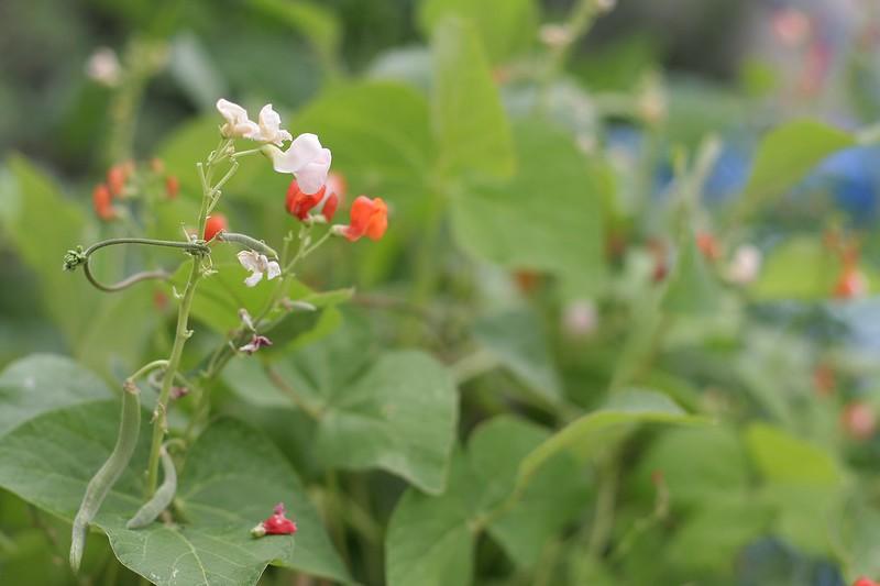 runner beans in L's garden