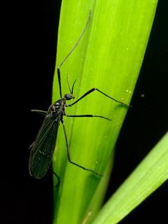 Black Cranefly
