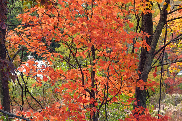 fall color, red maple