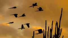 water bird(0.0), crane-like bird(0.0), crane(0.0), animal migration(1.0), yellow(1.0), wing(1.0), silhouette(1.0), morning(1.0), flock(1.0), bird migration(1.0), sky(1.0), sunset(1.0), bird(1.0), flight(1.0),