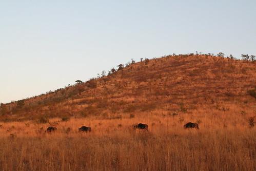 Strolling wildebeests
