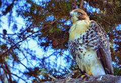 Hawk in the park.