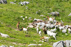animal, grass, mammal, goats, herd, grazing, domestic goat, fauna, meadow, pasture, rural area, wildlife,