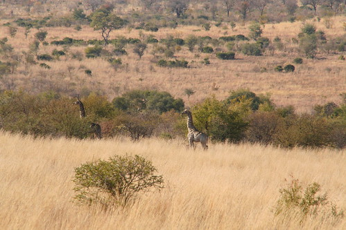 Giraffes steering clear of the Lioness