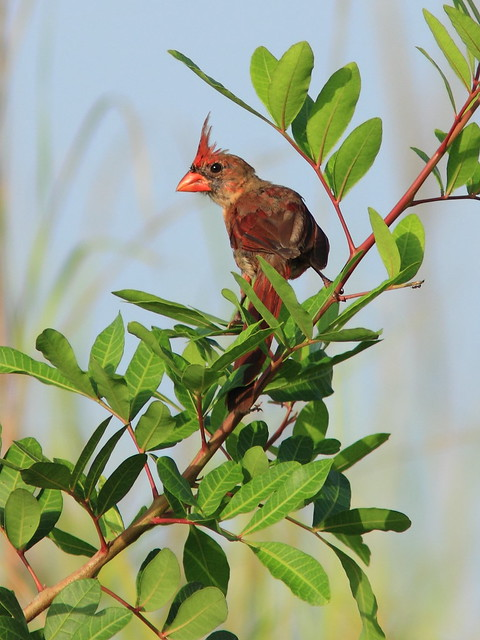 Northern Cardinal female molting 20150731