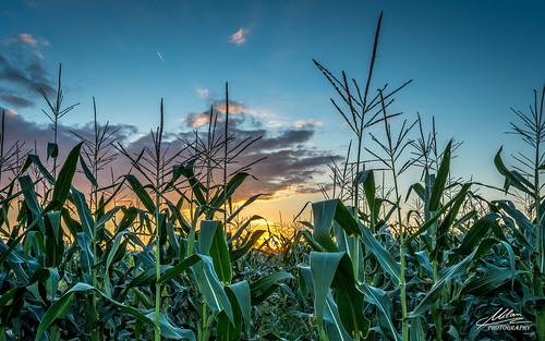 sunset sun field clouds corn croatia hrvatska polje zalazak oblaci kukuruz sunce milanz81