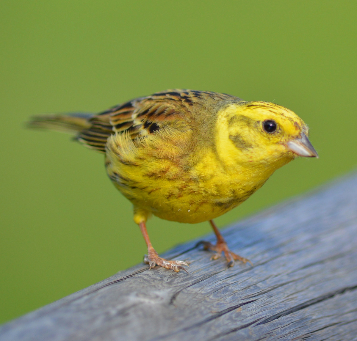 Yellowhammer. Credit Christina Nöbauer