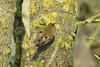 Goldcrest (Regulus regulus)