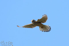 Kestrel (male) looking for his next meal