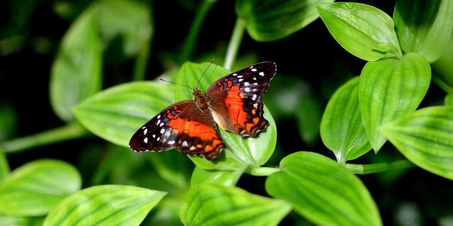 Common Mime (Papilio Clytia)