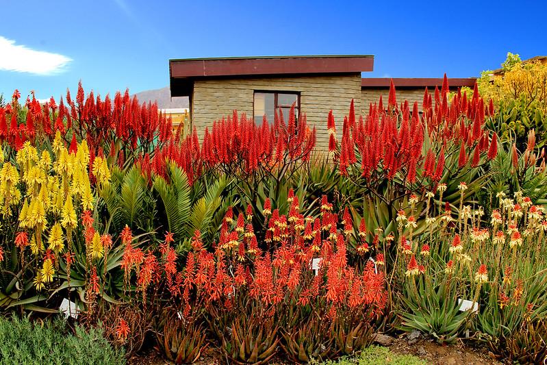 massifs d'Aloe, pour le plaisir 19537036929_c6224cc136_c