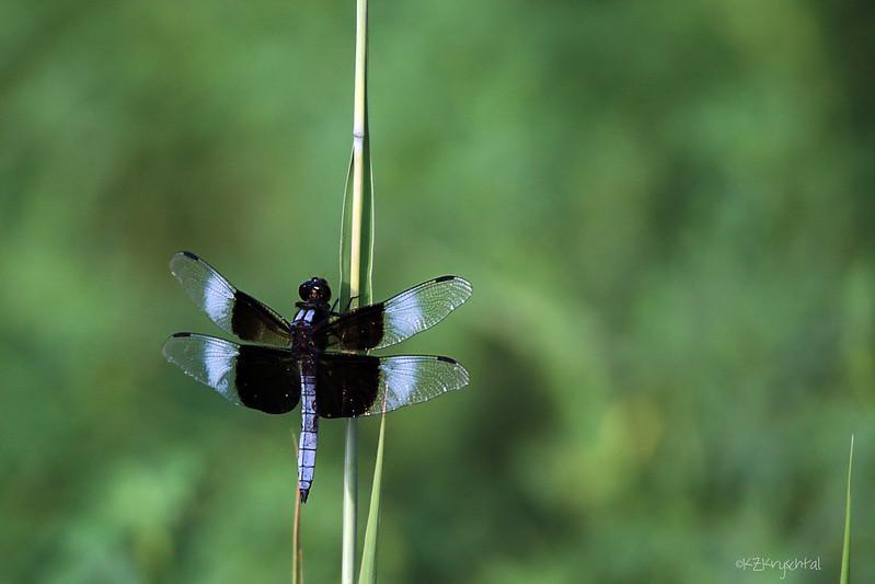 IMG_0087WidowSkimmerDragonfly
