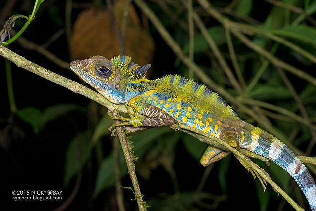 Great anglehead lizard (Gonocephalus grandis) - DSC_5695