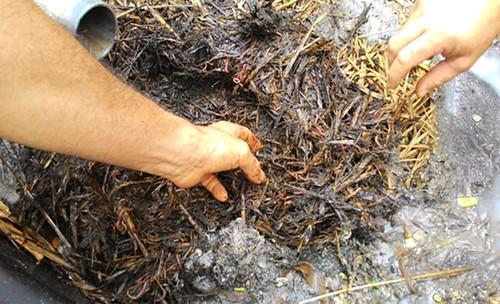 紅色的蚯蚓正幫忙分解有機回收物。攝影:林貞妤。