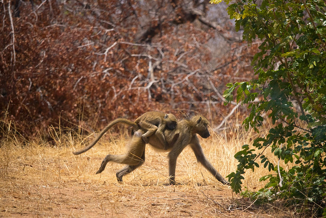 Baby baboon clinging to mom
