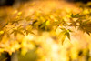 Shining Yellow leaves by SYU*2