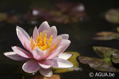 Waterlelie Chrysantha / Nymphaea Chrysantha