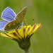 Common Blue butterfly on a Mouse-ear Hawkweed flower by Tim Melling