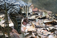 animal, small to medium-sized cats, mammal, fauna, close-up, cat, wild cat, ocelot, bobcat, wildlife,